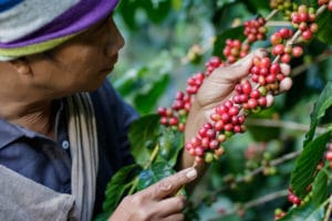 Ethiopian Man examining coffee berries